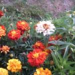 Бархатцы в саду усадьбы Кусково