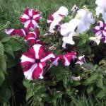 Бело-фиолетовые цветы