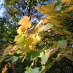Водопад осенних листьев.