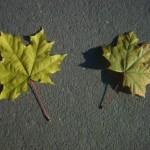 Листья клена на сером асфальте