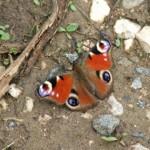 Бабочка с глазами на крыльях (Павлиний глаз)