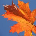 Красно-оранжевый лист на синем