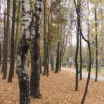 Березы и ковер осенних листьев