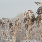 Метелки травы в ледяной шубе