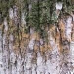 Трехцветное дерево