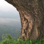 Дерево у пруда