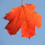 Кленовый лист (2006)