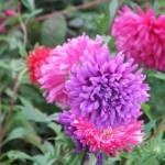 Фиолетовая хризантема