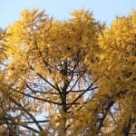 Верхушки лиственниц