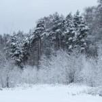 Сосны под снегом