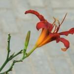 Лилия на сером
