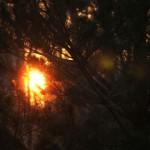 Закатное солнце, сосновая хвоя