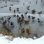 Утки на берегу замерзшей Яузы