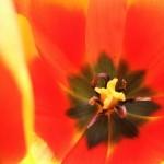 Красный тюльпан в праздничном букете