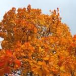 Над головой (клен в оранжево-красном)