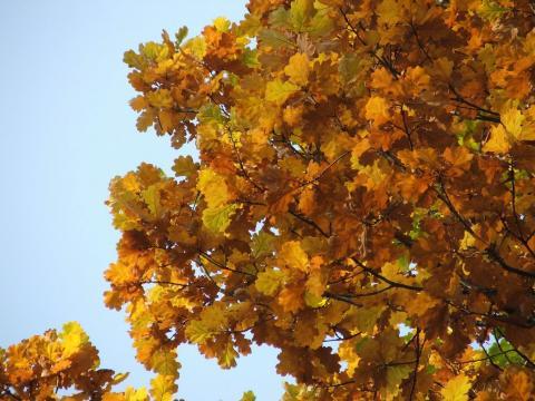 Листья дуба в октябре