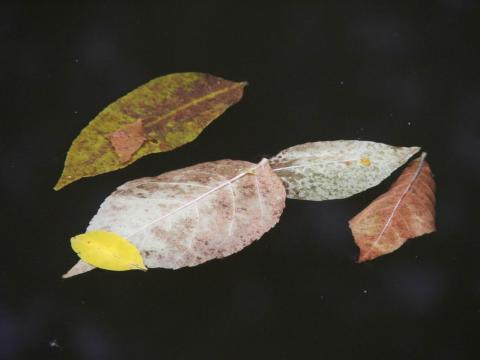 Листья на зеркале