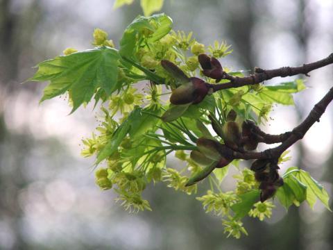 почки и листья