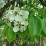 Белые цветы, зеленые листья