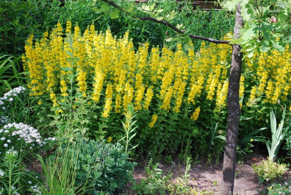Желтые многолетние цветы фото с названиями