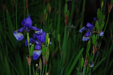 сине-фиолетовые ирисы