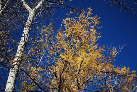 береза, лиственница, небо