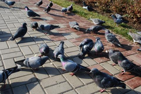 голуби у речки