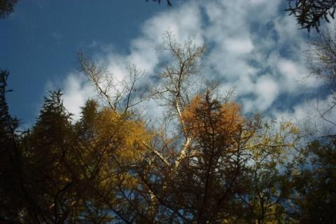 синее небо, желтая хвоя
