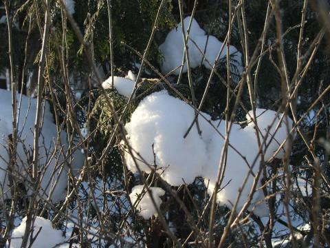 Снег на кустах