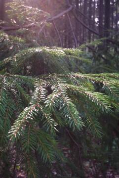 свет на ветках еловых деревьев