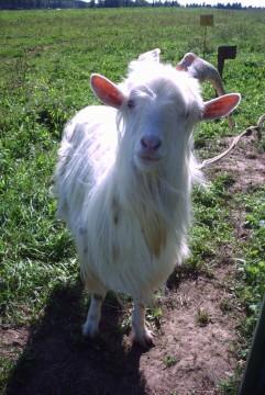 коза под солнцем