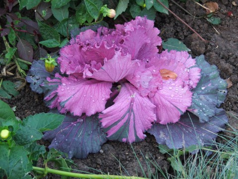 розово-фиолетовая капуста
