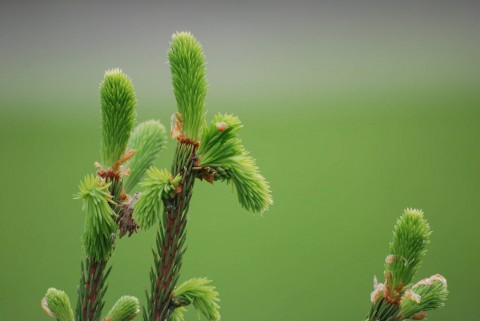 хвойные весной