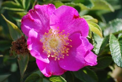 лиливо-розовый цветок