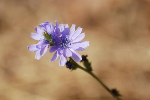 цветы цикория