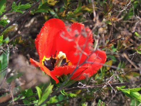 тюльпан с неровными краями