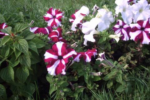 полосатые цветы