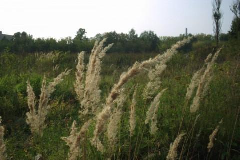 травы колосятся