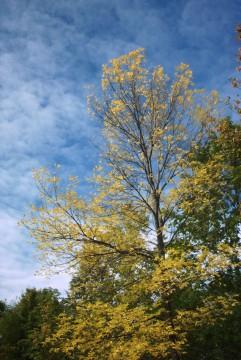 желтое дерево, синее небо