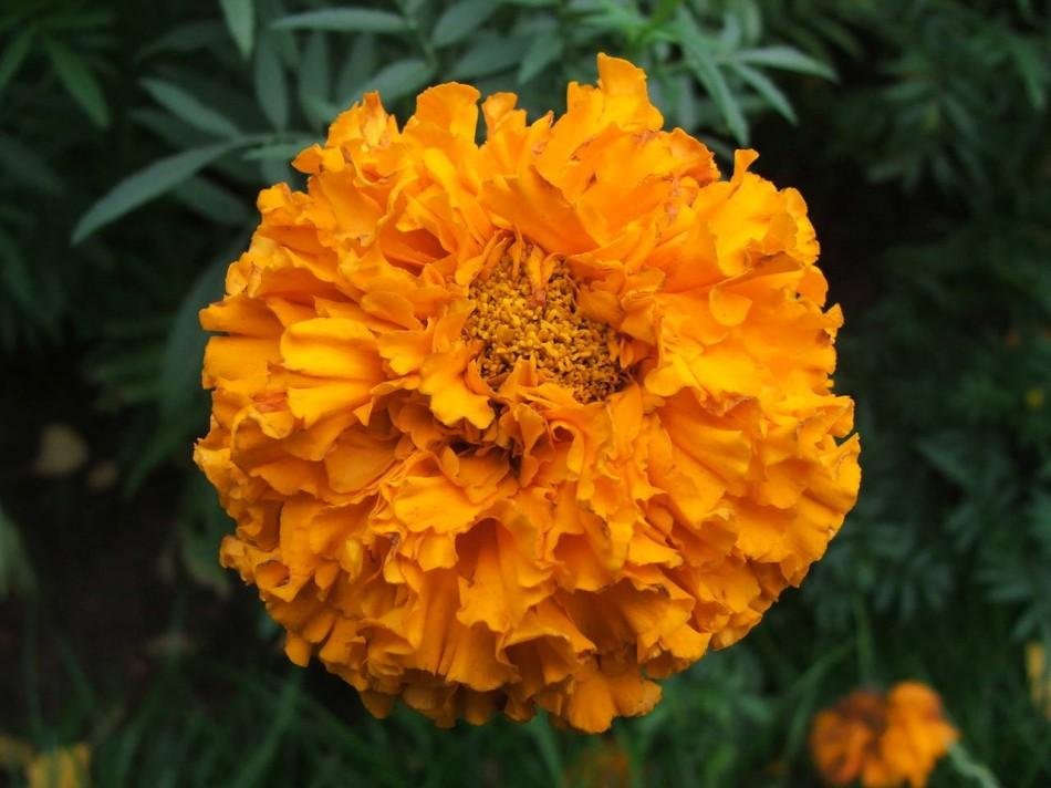 Оранжевый цветок называется