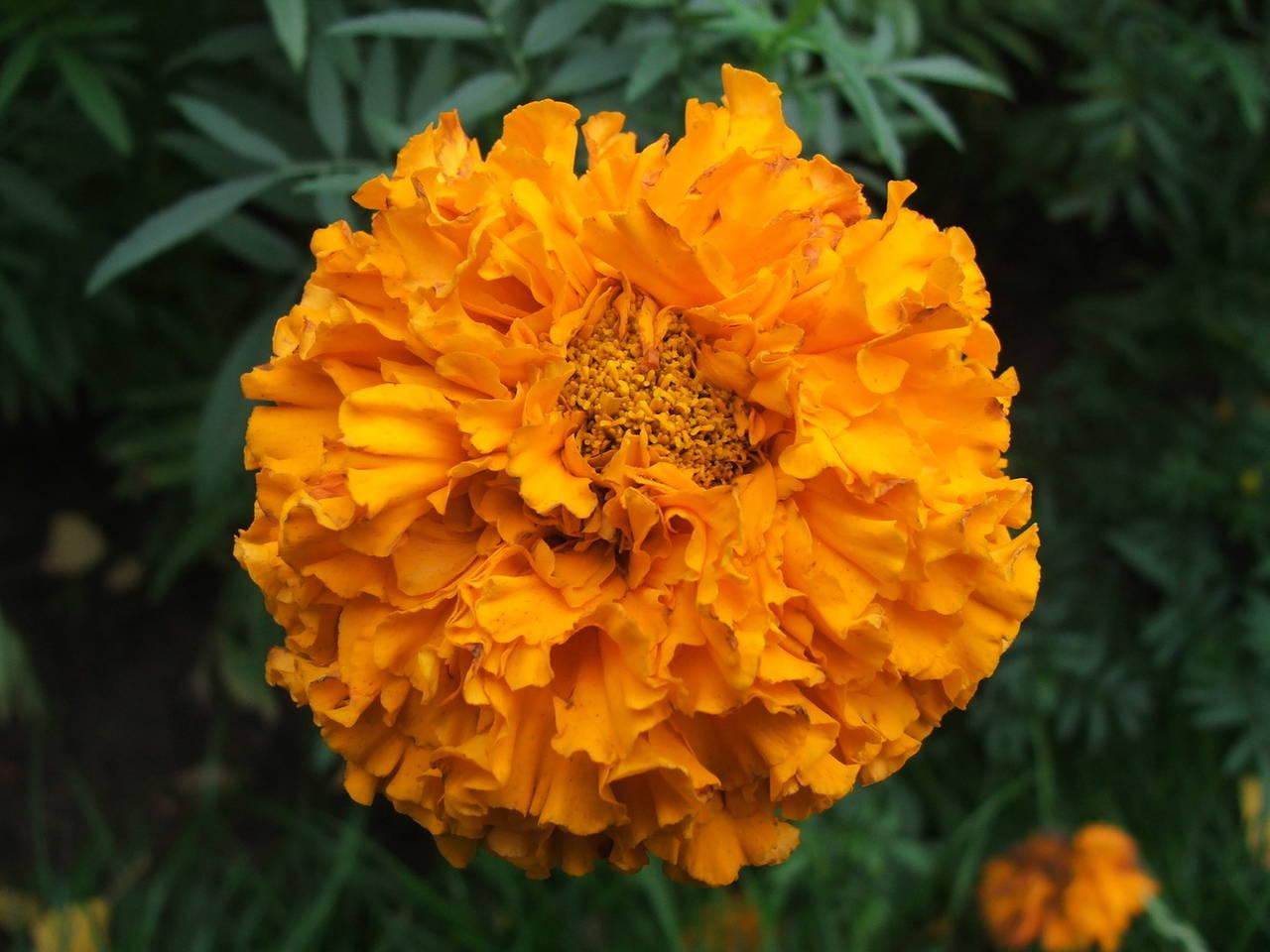 Оранжевый цветок как называется фото