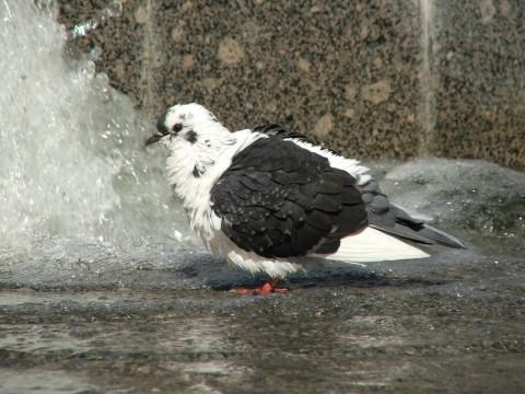 фотография голубя в фонтане