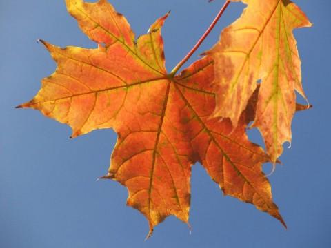красно-оранжевый кленовый лист на фоне неба