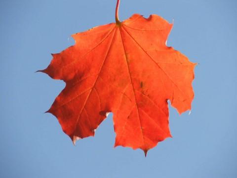 красный кленовый лист на фоне неба