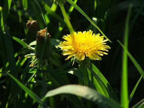 фотография одуванчика в зеленой траве