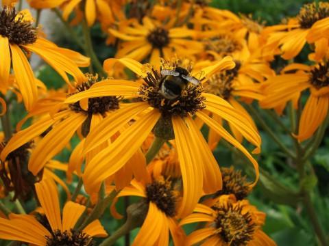фотография пчелы на оранжевом цветке