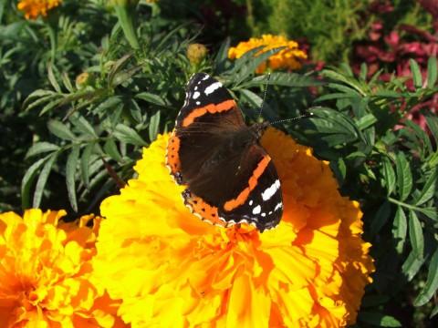 фотография бабочки на оранжевом цветке
