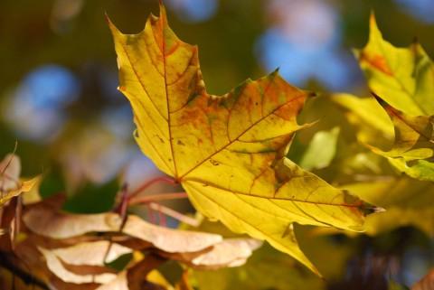 обои листья клена осенью фото