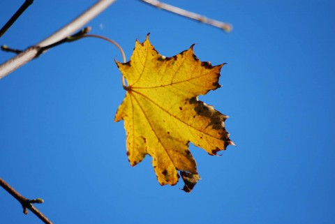 желтый лист кленовый