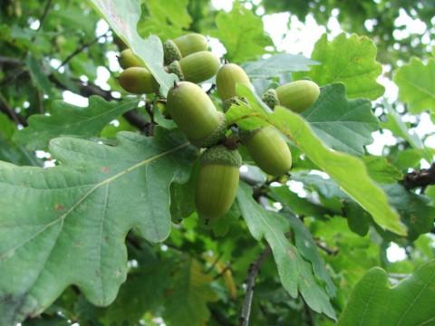 желуди и листья дуба
